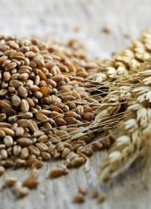 Whole grain wheat kernels closeup